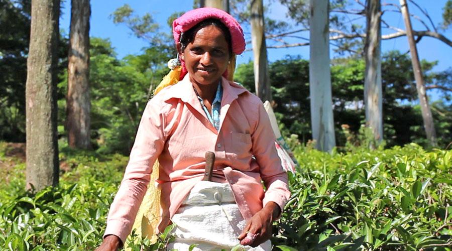Infinity Surfcamps Sri Lanka - Teeplantage